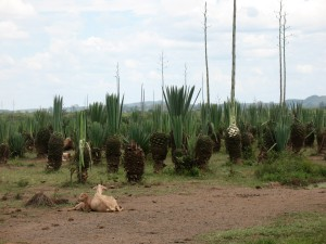 Sisal plants, some with <i>panga</i> marks